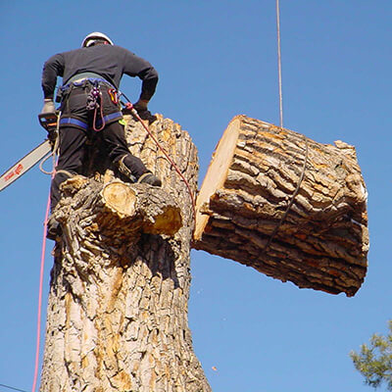 Picture of a very large tree being cut down in sections witht he climber removing a section at a time in Brockton, MA